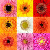 Collection of Gerbera Flower Macros — Stock Photo