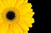 Yellow Marigold Flower Part Isolated on Black — Stock Photo