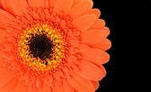 Orange Gerbera Flower Part Isolated on Black — Stock Photo