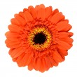 Beautiful Orange Gerbera Flower Isolated on White — Stock Photo