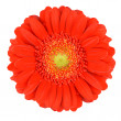 Perfect Orange Gerbera Flower Isolated on White — Foto de Stock