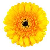 Perfect Yellow Gerbera Flower Macro Isolated on White — Stock Photo
