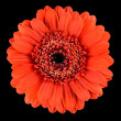 Macro of Beautiful Orange Gerbera Flower Isolated on Black — Stock Photo