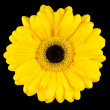 Close-up of Yellow Gerbera Flower Macro Isolated on Black — Stock Photo