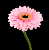 Pink Gerbera Flower with Green Stem Isolated — Stock Photo