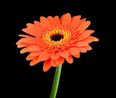 Orange Gerbera Flower with Green Stem Isolated — Stock Photo