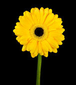 Yellow Gerbera Flower with Green Stem Isolated — Stock Photo
