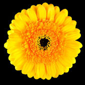 Perfect Yellow Gerbera Flower Macro Isolated on Black — Stock Photo
