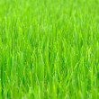 Grass background with drop of dew — Stock Photo
