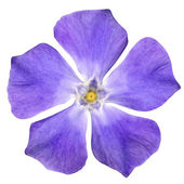 Purple Flower - Periwinkle - Vinca minor - isolated on White — Stock Photo
