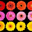 Collection of Fresh Gerbera Flowers Isolated on Black — Stock Photo