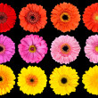 Royalty-Free Stock Photo: Collection of Fresh Gerbera Flowers Isolated on Black