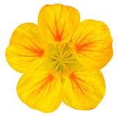 Fleur de capucine jaune isolé sur blanc — Photo
