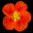 Red nasturtium flower Isolated on Black — Stock Photo