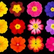 Collection of Colorful Primroses Isolated on Black — Stock Photo