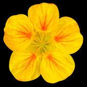 Yellow nasturtium flower Isolated on Black — Stock Photo
