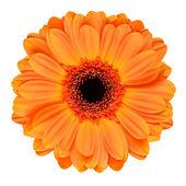 Orange Gerbera Flower Isolated on White — Stock Photo