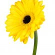 Yellow Gerbera Flower with Green Stem Isolated — Stok fotoğraf #27388917