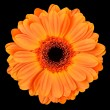 Orange Gerbera Flower Isolated on Black — Foto de Stock