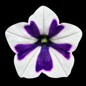 White and Purple Stripes on Morning Glory Flower Isolated — Stock Photo