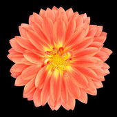 Red Pot Marigold Gerbera Flower Isolated on Black — Stock Photo