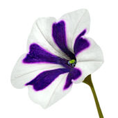 Purple Stripes on Morning Glory with Green Flower Isolated — Photo