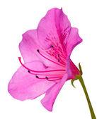 Pink Azalea Blossom Macro with Green Stem Isolated on White — Stock Photo