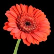 Red Gerbera Flower with Green Stem Isolated on Black — Stock Photo