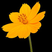 Orange Cosmea Rose with Green Stem Isolated on Black — Stock Photo
