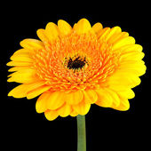 Yellow Gerbera Flower with Green Stem Isolated on Black — Zdjęcie stockowe