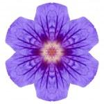 Purple Mandala Geranium Flower Isolated on White — Stock Photo