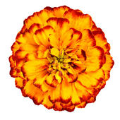 Yellow Orange marigold Flower Isolated on White Background — Stock Photo