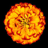 Yellow Orange marigold Flower Isolated on Black Background — Stock Photo