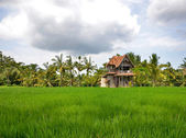 Rice field with an old house, palm trees and cloudy sky — Stock Photo