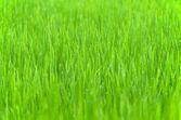 Gräs bakgrund med droppe dagg — Stockfoto
