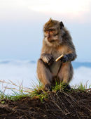 Mountain Monkey sitting and eating biscuit — Stok fotoğraf