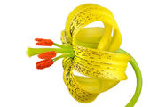 Yellow Asiatic lily with Black Spots Isolated on White — Stock Photo