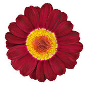 Dark Red Gerbera Flower Isolated on White — Stock Photo