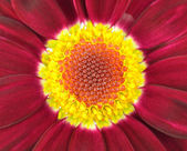 Center of Dark Red Gerbera Flower — Stock Photo