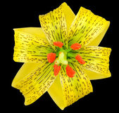 Yellow Asiatic lily with Black Spots Isolated on Black — Stock Photo