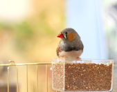 Finches bird pecking grain — Stock Photo