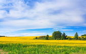 Blossoming field and blue sky — Stock Photo