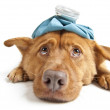 Sick Dog — Stockfoto