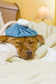 Sick dog in bed — Stock Photo