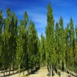 The white poplar trees — Stock Photo