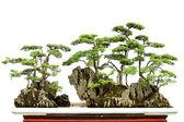 Bonsai de china — Foto de Stock