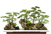 China bonsai — Stockfoto