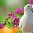 Two loving white doves and beautiful purple flowers — Stock Photo #14432777