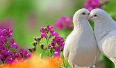 Two loving white doves and beautiful purple flowers — Stock Photo