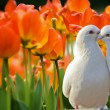 Two loving white doves and beautiful tulip flowers — Stock Photo